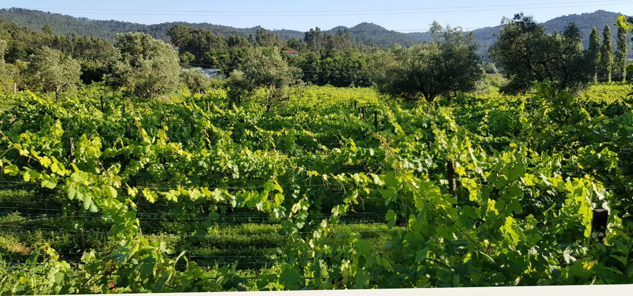 own vineyard, portuguese country wine